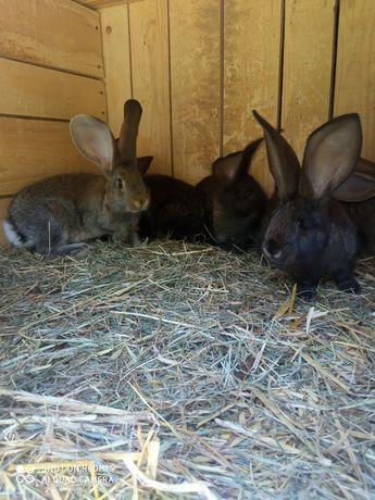 Młode króliki belgijskie