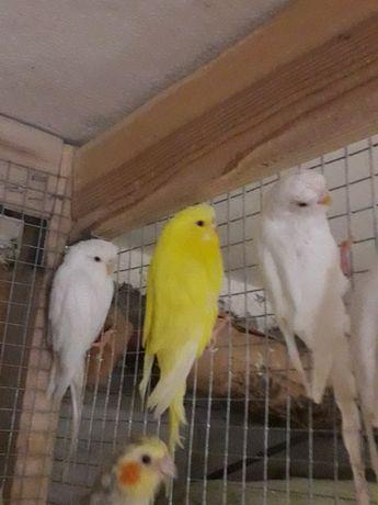 Papugi faliste - samiczki gotowe do lęgów