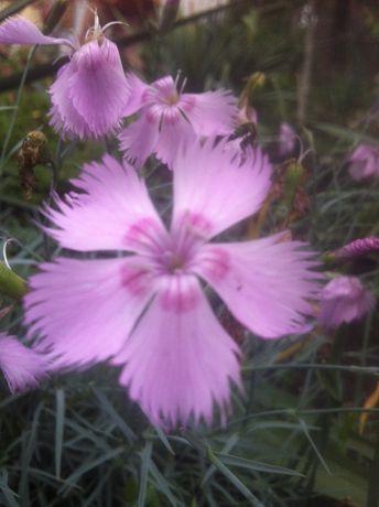 гвоздика многолетняя, розовая