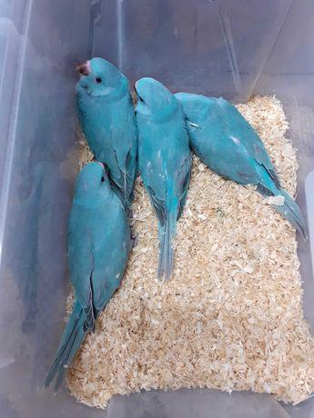 Ring neck azul turquesa criados a mão