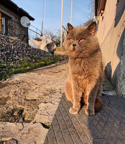 Британский кот прямоухий. Вязка