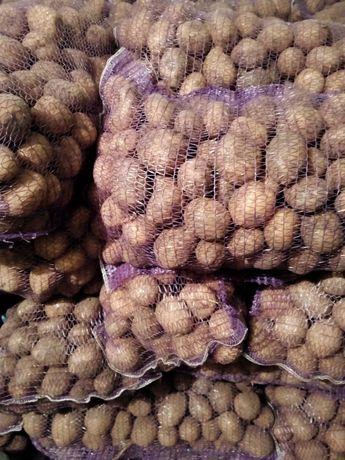 Продам картоплю велику та насіневу