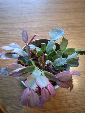 Grudnik roślina doniczkowa
