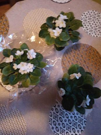 Kwiat fiołek