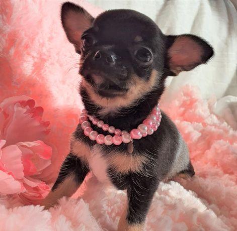 Chihuahua Suczka Super Przepiękna, Rodowód Mini! do 1,8kg.