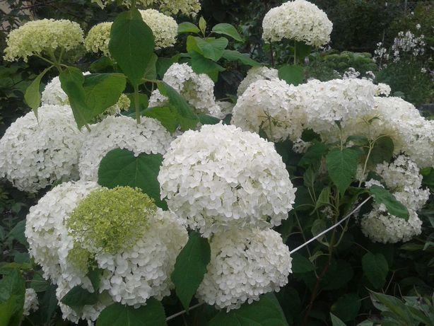 Hortensja biała ANNABELLE.Roślina ogrodowa wieloletnia,kwiaty.