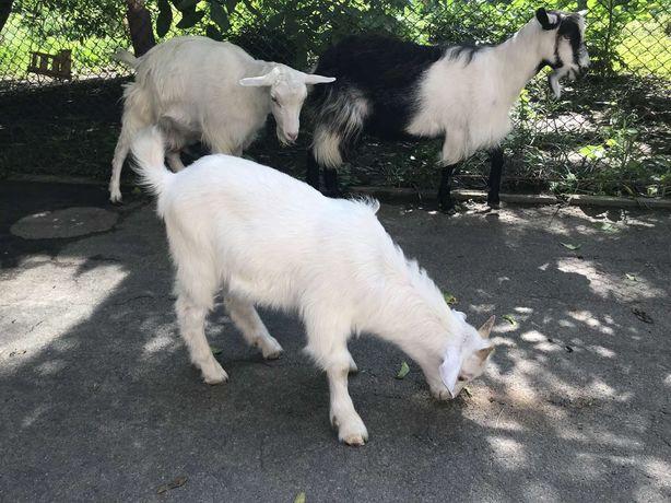 Продам козлика від хорошої кози