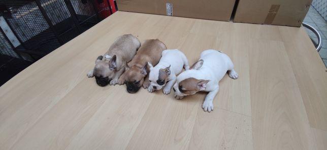 Bulldog francês criado em ambiente familiar