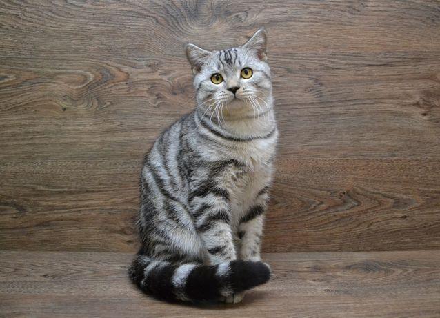 Шотландский котик в серебристой рисунчатой шубке. Котята