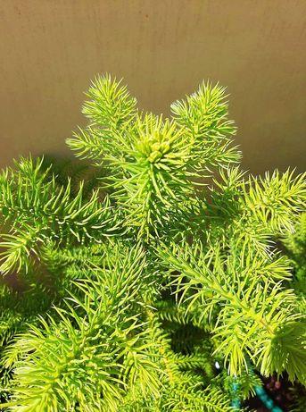 Araucaria heterophylla 65/75 cm