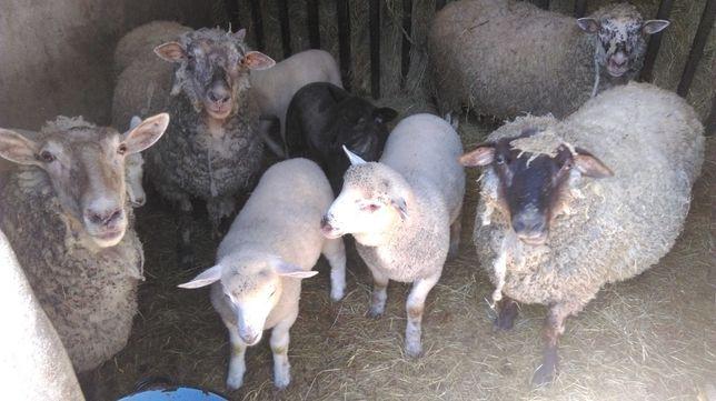 Sprzedam owce jagnięta barany