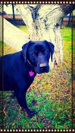 Pies w typie labradora szuka domu!!!