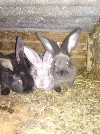 Кролики на откорм