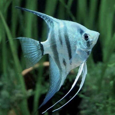 Conjunto de 12 peixes (escalar, khuli, colisa, ramiresi, tubarão)