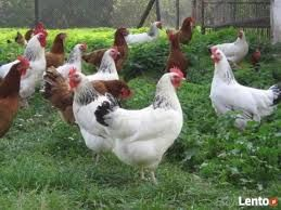 Kury Kokoszki młode z jajkami kury z wolnego wybieegu.FERMA z Dowozem/