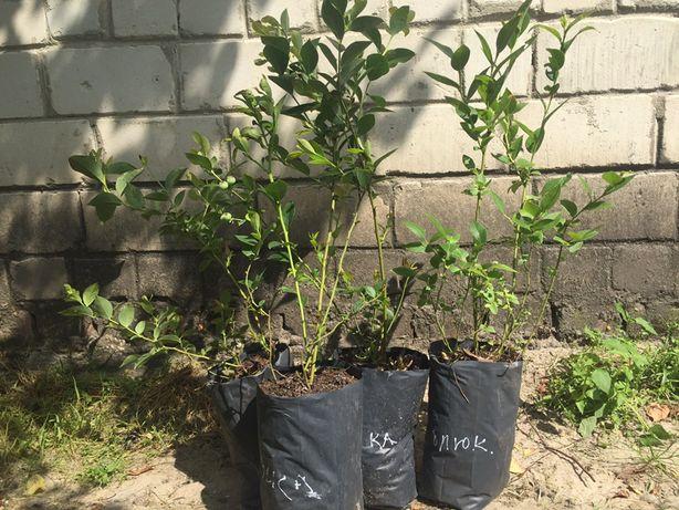 Саджанці лохини вік 3 роки-70 грн