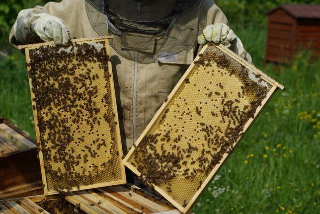 Rodziny pszczele na ramce Warszawskiej Zwykłej