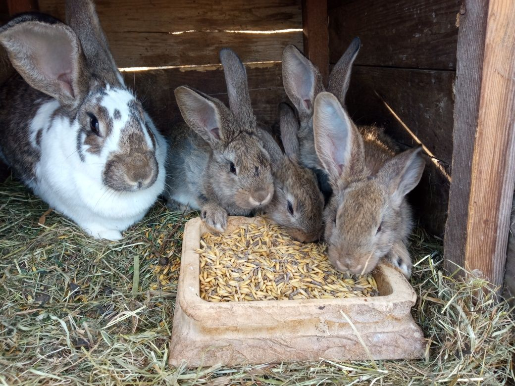 Młode króliki , królik , samiec , samica