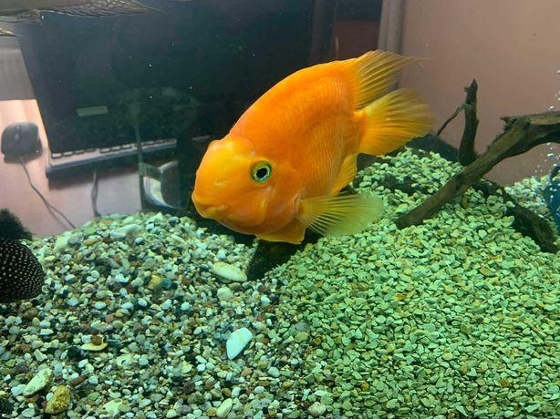 Продам рибку- Папугу та рибок Цихлазома