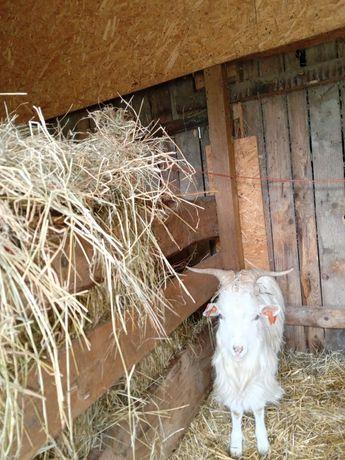 Kozioł Karpacki do hodowli