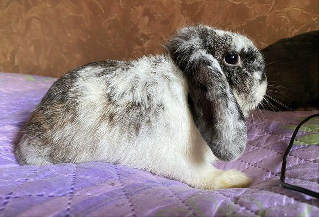 Декоративные вислоухие и торчеухие кролики, минилопы