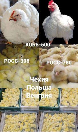 Инкубационное яйцо оптом: Бройлеров, Яичных пород, Мясо-яичных