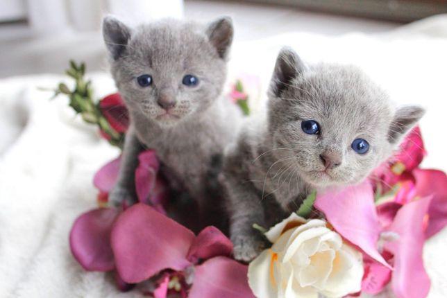 Koty kociaki Rosyjskie Niebieskie BlueMatreshka*PL