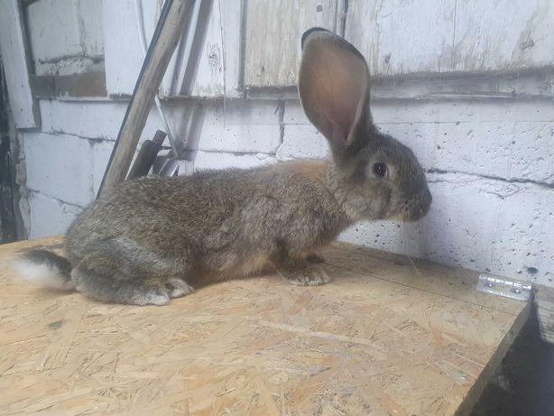 Królik królica Samica mieszaniec po duzych rodzicach
