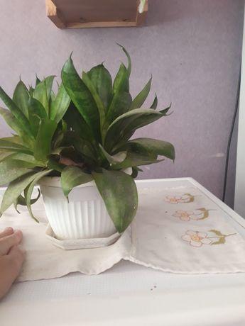 Отдам ростки сансевиерии,комнатный цветок
