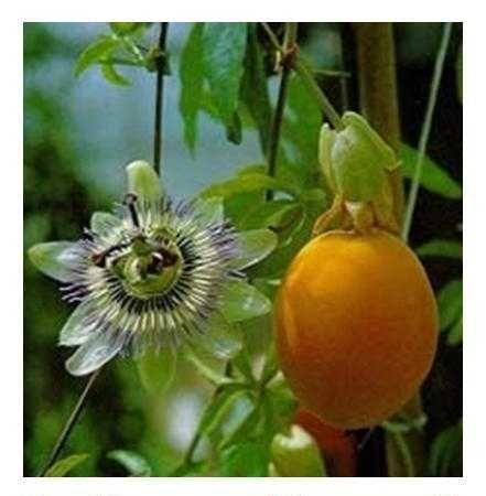 Sementes e plantas Passiflora caerulea