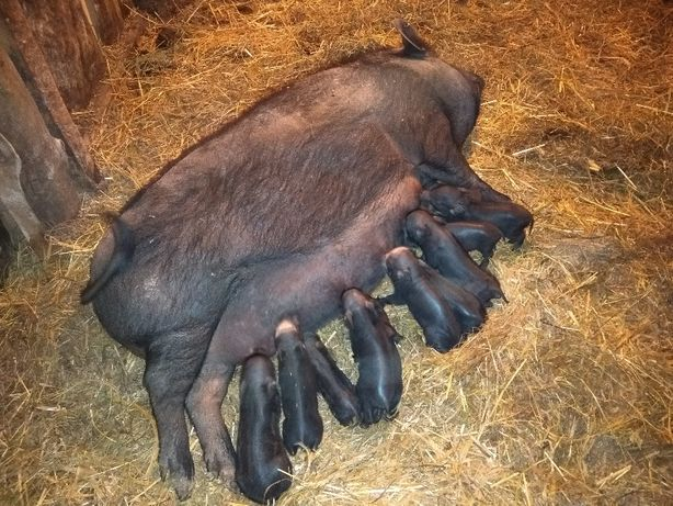 ПОРОСЯТА Свиньи свинки Корейски Кармалы