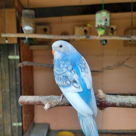 Papugi faliste tegoroczne