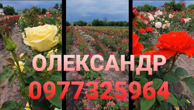 Саджанці,сажанці,саженцы, сажанцы,троянд,роз,рози,чайно-гібридні(2021)