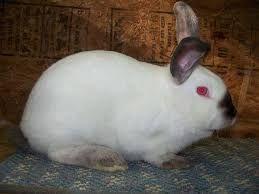 Продам кролів - каліфорнійці і термонська біла