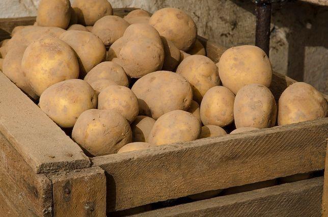 Ziemniaki - odmiana Vineta