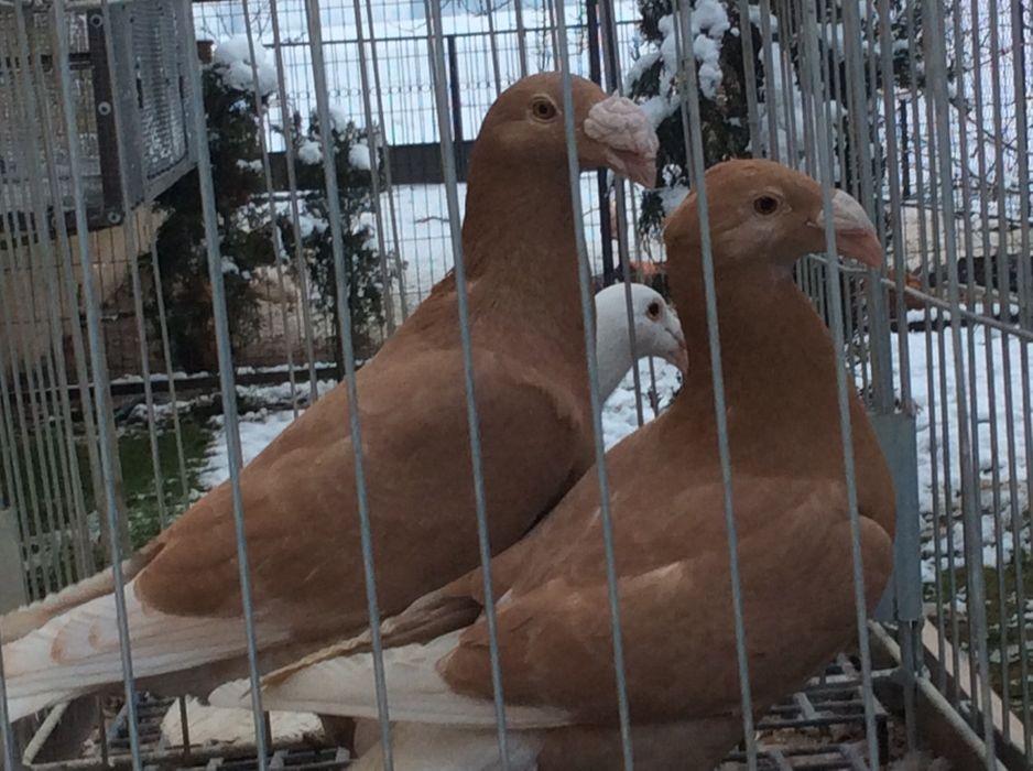 Rzeszowski gołębie rzeszowskie Górki Małe - image 1