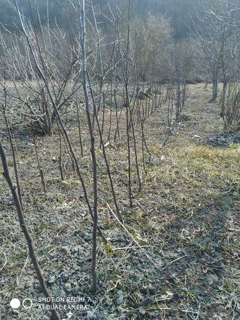 Сажанці яблуні зимовий сорт Лігол