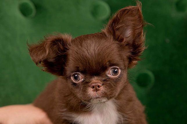 Chihuahua długowłosy mini piesek z metryką ZKwP/FCI