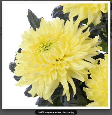Укорененный черенок голланской хризантемы