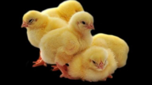 Курчата добові. Бройлери, несучки, м'ясо-яєчні, простячки,цыплята,куры