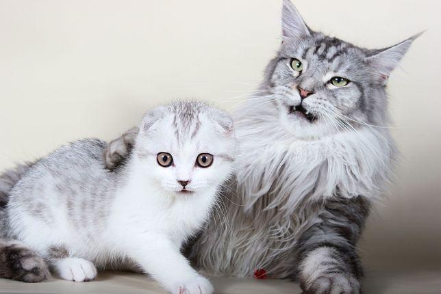 Жизнь кошек породы мейн-кун в питомнике. Видео канал на ютубе