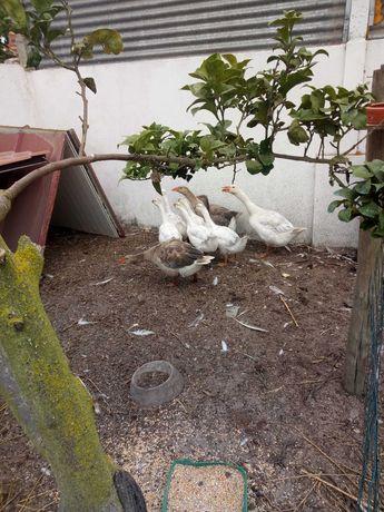 Vendo gansos jovens