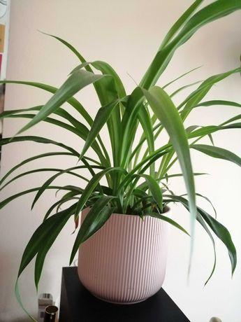 Zielistka - kilka sadzonek