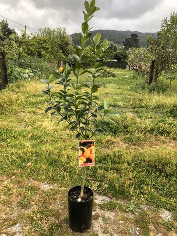 Árvore Kumquat em vaso