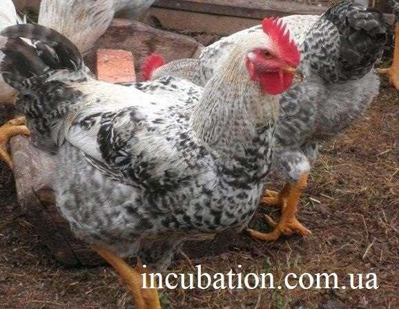 Инкубационное яйцо Мастер грей