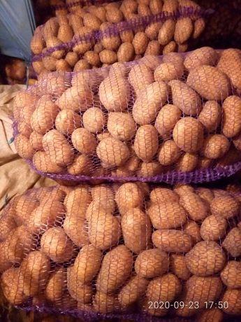 Домашня відбірна картопля