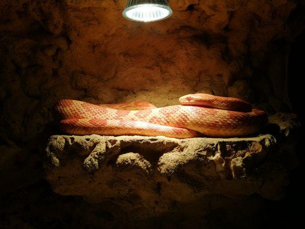 Wąż zbożowy samica + terrarium