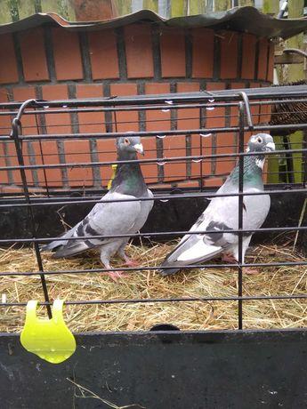 Sprzedam parę gołębi pocztowych Ardenów