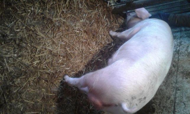 Продам свині,кнура породи Ландрас датської селекції.Свиньи