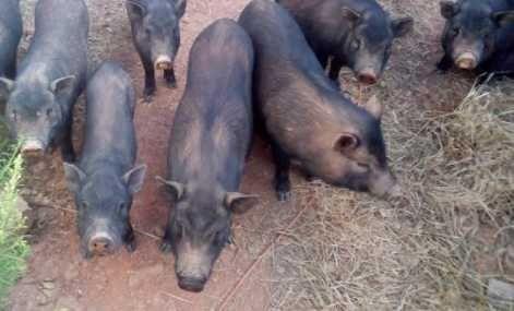 Porco Vietnamita (anão)